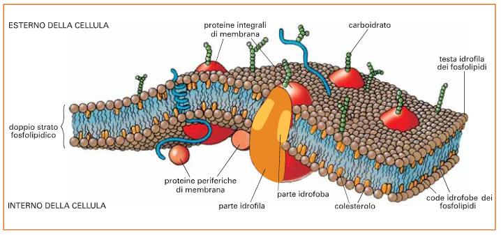 struttura membrana